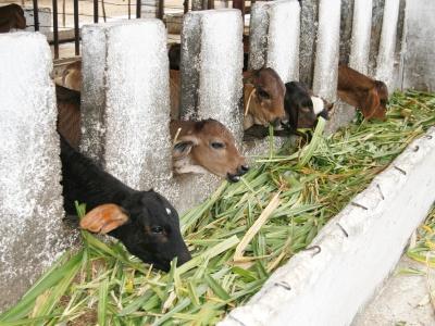 Häcksler und Mähmaschine sind dringend benötigte Ergänzungen des Maschinenparks im Projekt Mayabeque, um die größer gewordenen Agrarflächen nachhaltig und effizient zu bewirtschaften.