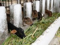 """""""Die Kuh ist kein Klimakiller"""" - nachhaltige Rinderhaltung auf Cuba-Sí-Projekten"""