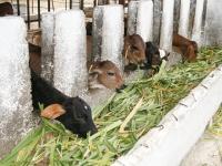 Die Kühe fressen die Futterpflanzen, die im Projekt angebaut werden.